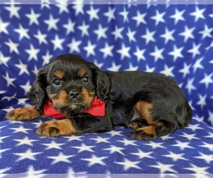 Cavalier King Charles Spaniel Puppy for sale in NOTTINGHAM, PA, USA