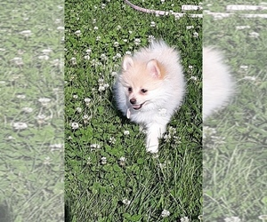 Pomeranian Puppy for Sale in LOGAN TOWNSHIP, New Jersey USA