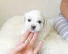 Maltese Puppy For Sale in SURPRISE, AZ