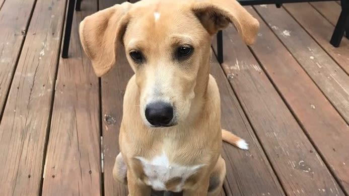 Dachshund-Labrador Retriever Mix dog