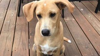 Dachshund-Labrador Retriever Mix Dog For Adoption in MARIETTA, GA, USA