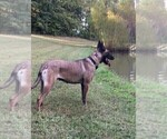 Small Photo #4 Belgian Malinois Puppy For Sale in LABADIE, MO, USA