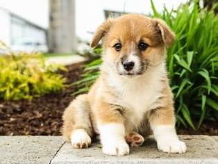 Pembroke Welsh Corgi Puppy for sale in INDIANAPOLIS, IN, USA
