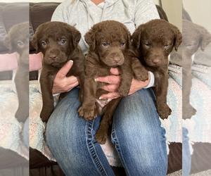 Chesapeake Bay Retriever Dog for Adoption in CANADIAN LAKE, Michigan USA