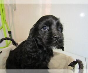 Cocker Spaniel Puppy for sale in HUDSON, MI, USA