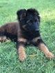 German Shepherd Dog Puppy For Sale in FARMERSVILLE, TX