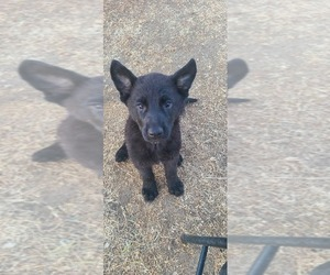 German Shepherd Dog Puppy for sale in MADERA, CA, USA