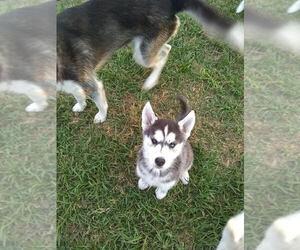 Siberian Husky Puppy for sale in ATLANTIC BEACH, FL, USA