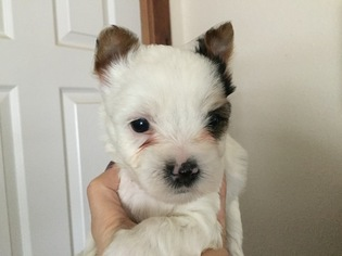 Yorkshire Terrier Puppy For Sale in BLACKFOOT, ID