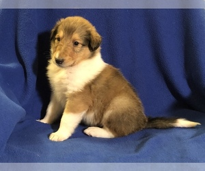 Collie Puppy for Sale in QUEBECK, Tennessee USA