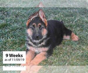 German Shepherd Dog Puppy for Sale in WESTCLIFFE, Colorado USA