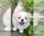 White Pekingese Male puppy