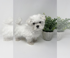 Maltese Puppy for sale in ROCKY MOUNT, NC, USA