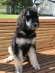 Poodle (Standard) Puppy For Sale in BAYARD, Ohio,