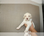 Small #6 Labradoodle