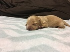 Dachshund Puppy For Sale in ROCHESTER, WA