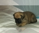 Small #31 Mastiff