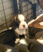 Boston Terrier-Cavalier King Charles Spaniel Mix Puppy For Sale in SMITHFIELD, VA, USA