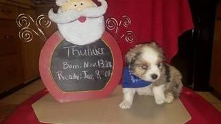 Miniature Australian Shepherd Puppy For Sale in CARNEGIE, OK