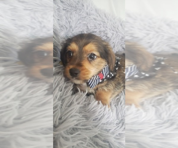 Medium Photo #6 Yorkie Russell Puppy For Sale in OTTAWA, OH, USA