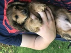 Dachshund Puppy For Sale in BILLINGS, MT, USA
