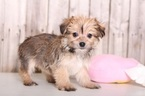 Havashire Puppy For Sale in MOUNT VERNON, OH, USA