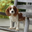 Cavalier King Charles Spaniel Puppy For Sale in GAP, PA, USA