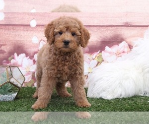 Zuchon Puppy for sale in MARIETTA, GA, USA