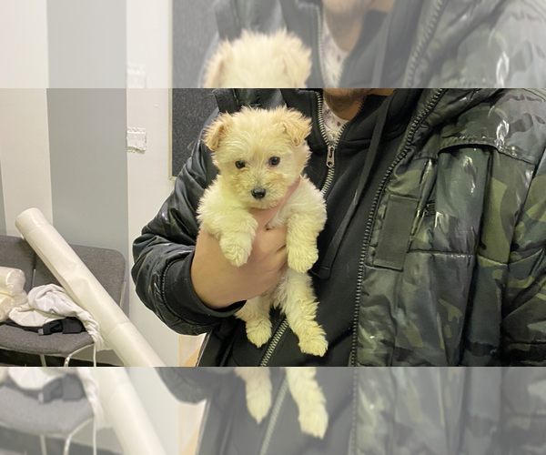 Medium Photo #1 Maltipoo Puppy For Sale in BALDWIN, NY, USA