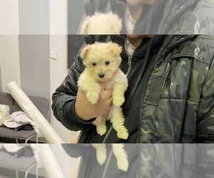 Maltipoo Puppy for Sale in BALDWIN, New York USA