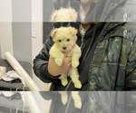 Small Photo #1 Maltipoo Puppy For Sale in BALDWIN, NY, USA