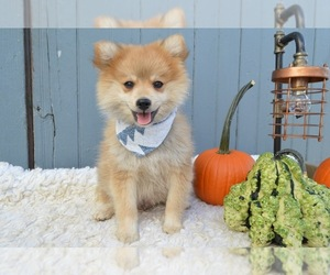 Pomimo Puppy for sale in HONEY BROOK, PA, USA