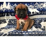 Boerboel Puppy For Sale in CHRISTIANA, PA, USA