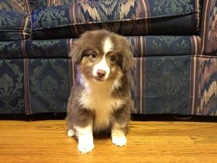 Australian Shepherd Puppy for sale in RAINS, SC, USA