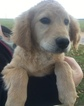 Goldendoodle Puppy For Sale in MIDDLEBURG, PA,