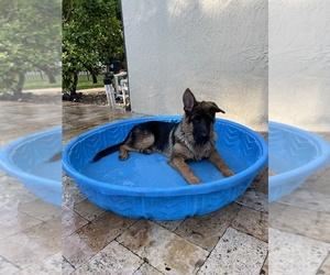 German Shepherd Dog Puppy for Sale in WELLINGTON, Florida USA