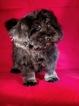 Havanese Puppy For Sale in WINSTON SALEM, North Carolina,