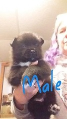 Pomsky Puppy for sale in PITTSFIELD, NH, USA