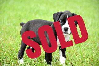 Boxer Puppy For Sale in CLINTON, LA, USA