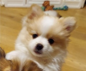 Pomeranian Puppy for Sale in SANTEE, California USA