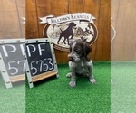 Small #4 German Wirehaired Pointer