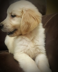 Golden Retriever Puppy For Sale in SOUTH EASTON, MA, USA
