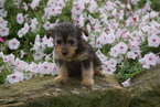 Foodle Puppy For Sale in FREDERICKSBG, OH, USA