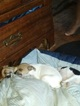 Rat Terrier Puppy For Sale in COMMERCE CITY, CO