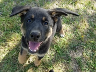 German Shepherd Dog Puppy for sale in ORANGEBURG, SC, USA