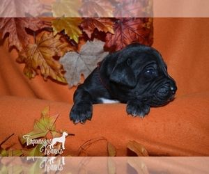 Great Dane Puppy for sale in EAGLE MOUNTAIN, UT, USA