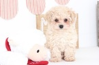 Poodle (Miniature) Puppy For Sale in NAPLES, Florida,