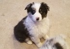 Australian Shepherd Puppy For Sale in HERRIMAN, UT,