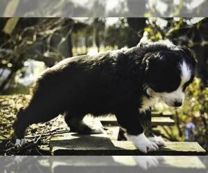 Australian Shepherd Dog for Adoption in PINDALL, Arkansas USA