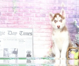 Siberian Husky Puppy for sale in BEL AIR, MD, USA